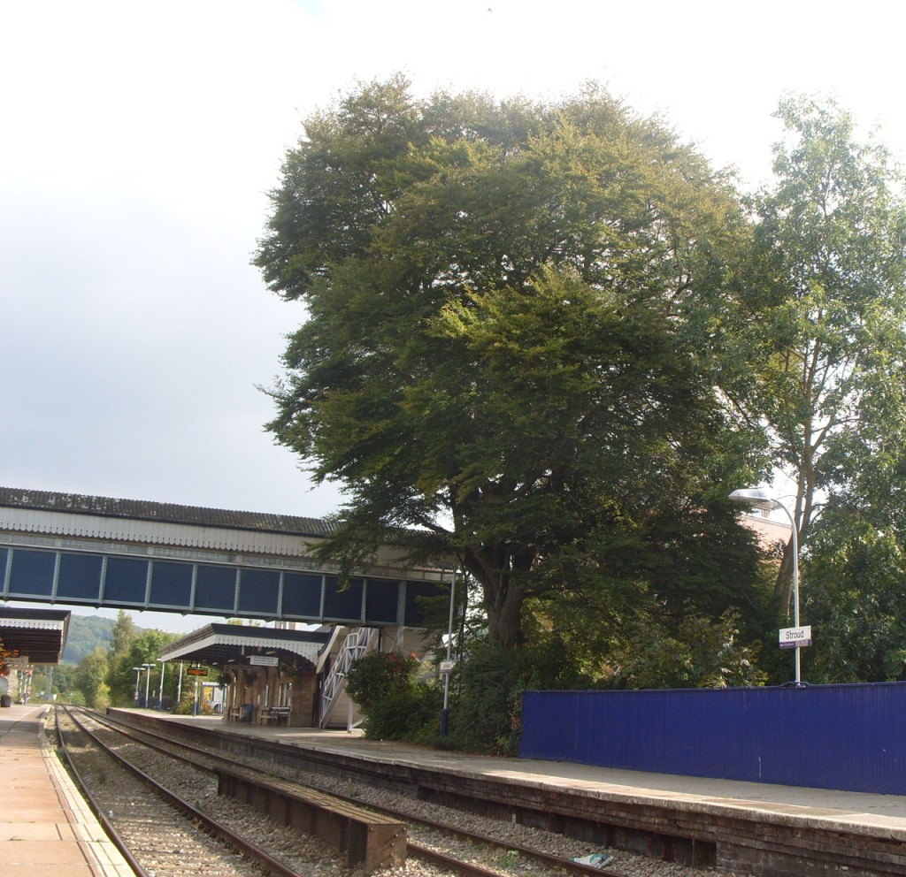 Tree on Stroud Station platform. Photo P Stevens Sept 2014